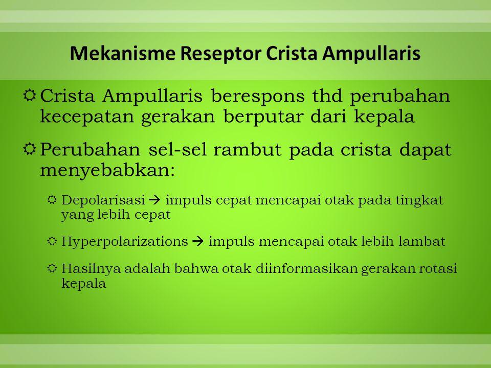  Crista Ampullaris berespons thd perubahan kecepatan gerakan berputar dari kepala  Perubahan sel-sel rambut pada crista dapat menyebabkan:  Depolarisasi  impuls cepat mencapai otak pada tingkat yang lebih cepat  Hyperpolarizations  impuls mencapai otak lebih lambat  Hasilnya adalah bahwa otak diinformasikan gerakan rotasi kepala