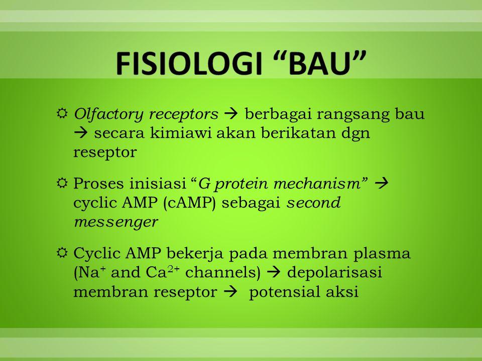 " Olfactory receptors  berbagai rangsang bau  secara kimiawi akan berikatan dgn reseptor  Proses inisiasi "" G protein mechanism""  cyclic AMP (cAMP"