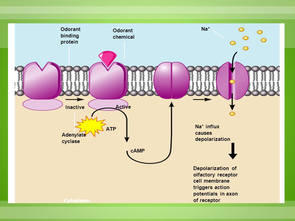 Odorant binding protein Odorant chemical Na + Cytoplasm Inactive Active Na + influx causes depolarization Adenylate cyclase ATP cAMP Depolarization of
