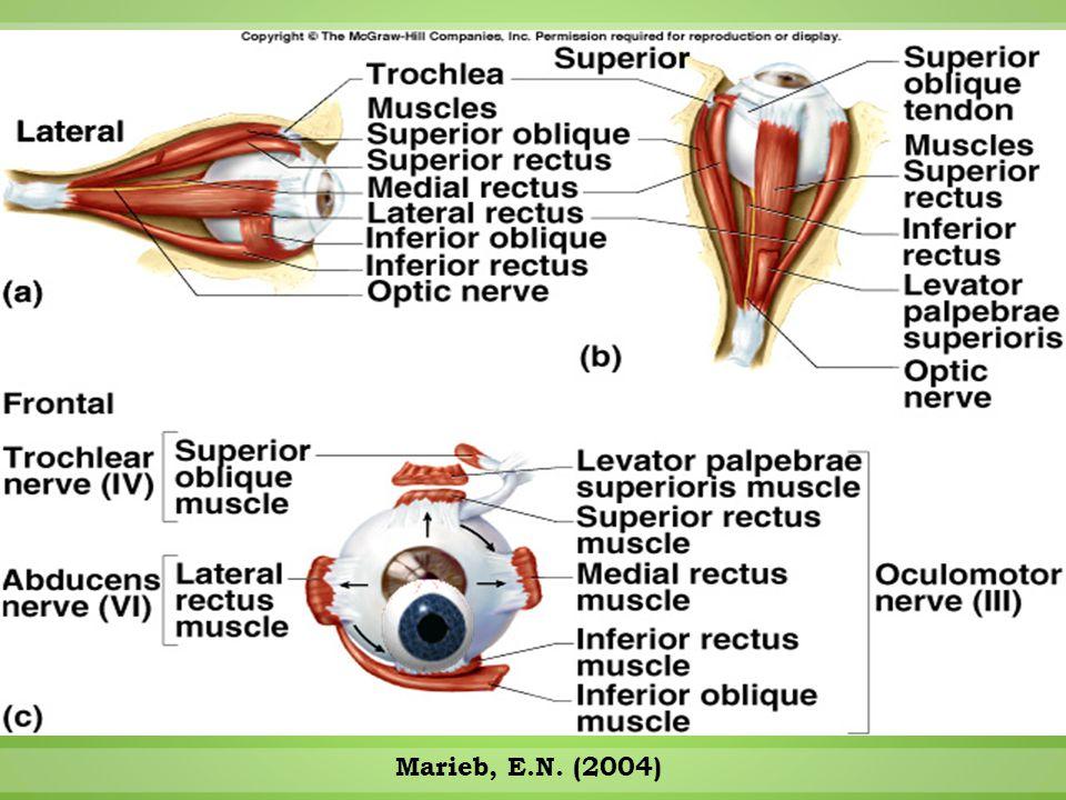  External auditory canal  PIPA PENDEK  TERDAPAT KELENJAR SERUMEN & KELENJAR KERINGAT  Tympanic membrane (eardrum)  MEMBRAN TIPIS  MEMBATASI TELINGA LUAR DAN DALAM TELINGA LUAR
