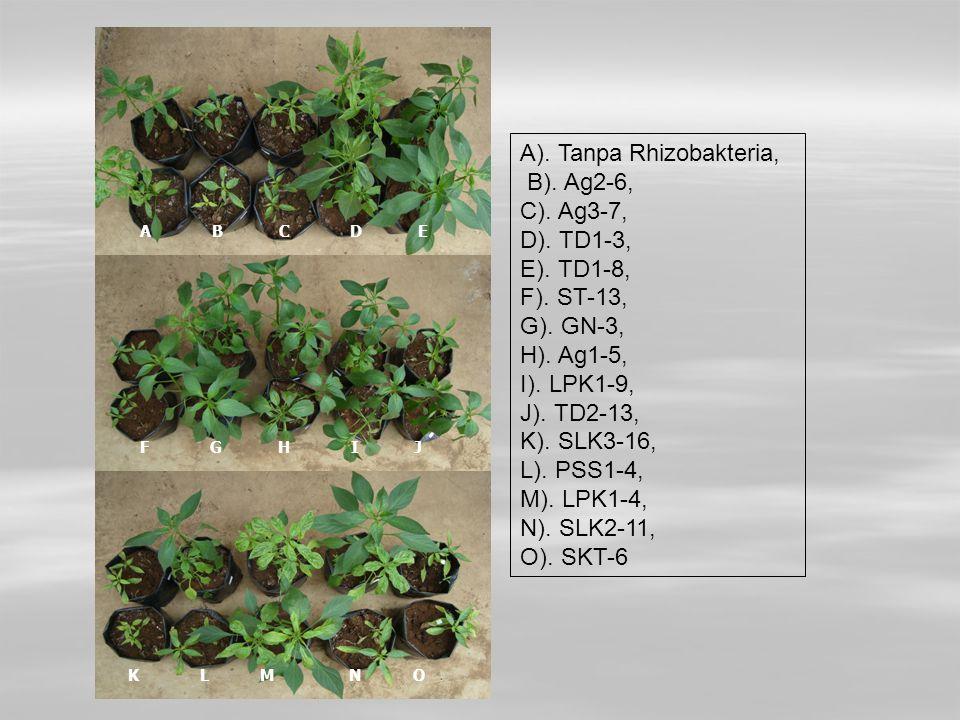 A B C D E F G H I J K L M N O A). Tanpa Rhizobakteria, B). Ag2-6, C). Ag3-7, D). TD1-3, E). TD1-8, F). ST-13, G). GN-3, H). Ag1-5, I). LPK1-9, J). TD2