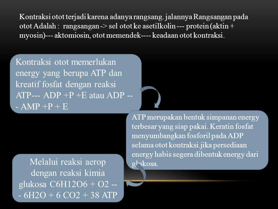 Kontraksi otot memerlukan energy yang berupa ATP dan kreatif fosfat dengan reaksi ATP--- ADP +P +E atau ADP -- - AMP +P + E ATP merupakan bentuk simpanan energy terbesar yang siap pakai.