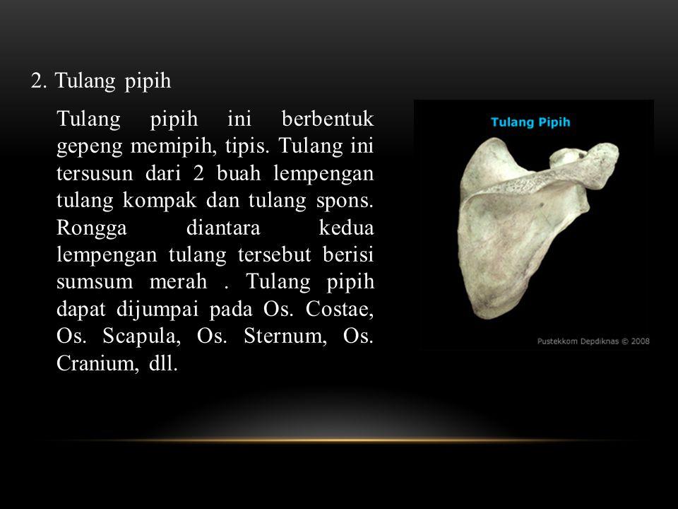 2.Tulang pipih Tulang pipih ini berbentuk gepeng memipih, tipis.