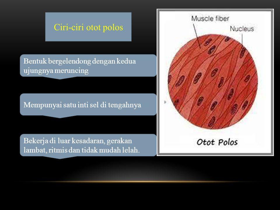 Ciri-ciri otot polos Bentuk bergelendong dengan kedua ujungnya meruncing Mempunyai satu inti sel di tengahnya Bekerja di luar kesadaran, gerakan lambat, ritmis dan tidak mudah lelah.