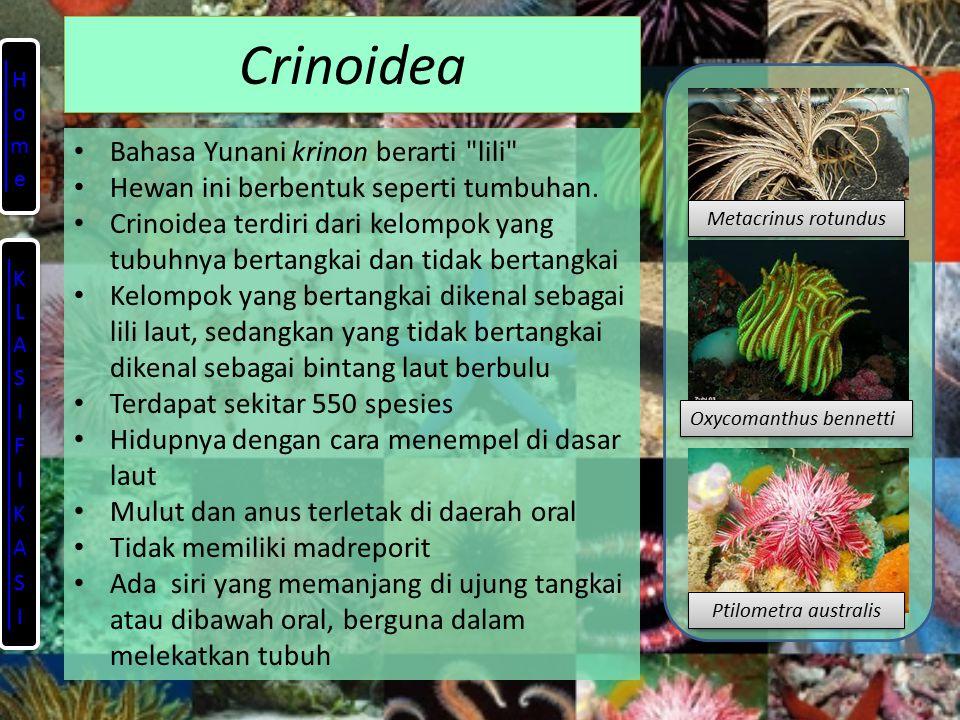 Crinoidea Bahasa Yunani krinon berarti lili Hewan ini berbentuk seperti tumbuhan.