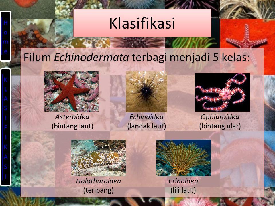 Klasifikasi Filum Echinodermata terbagi menjadi 5 kelas: Asteroidea (bintang laut) Ophiuroidea (bintang ular) Echinoidea (landak laut) Holothuroidea (teripang) Crinoidea (lili laut)
