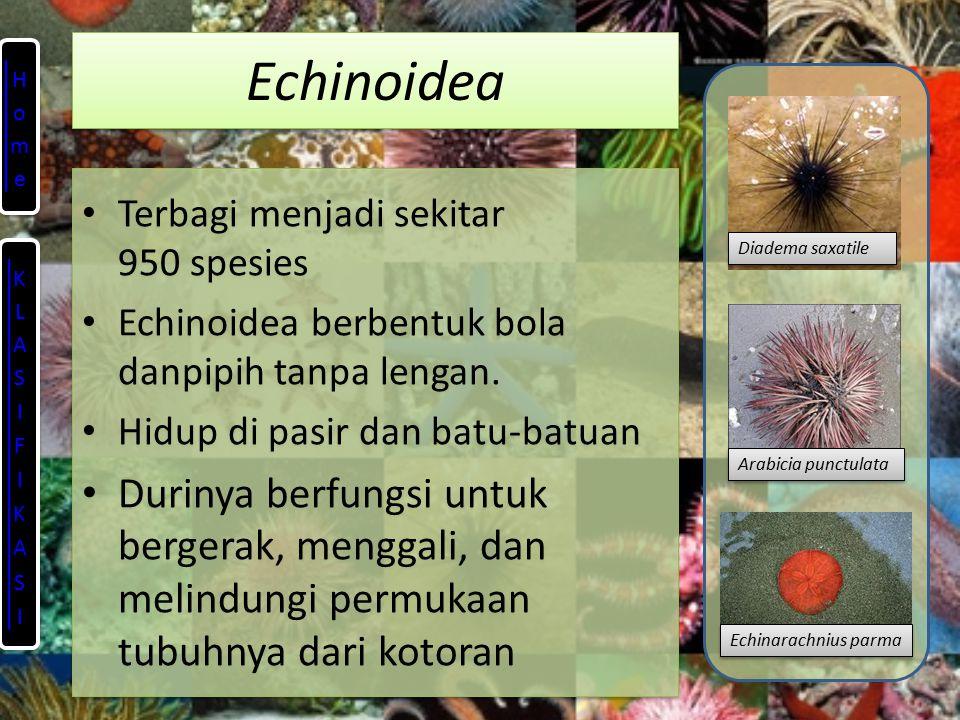 Echinoidea Terbagi menjadi sekitar 950 spesies Echinoidea berbentuk bola danpipih tanpa lengan.