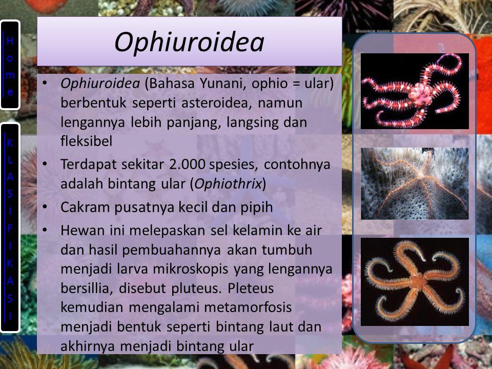 Ophiuroidea Ophiuroidea (Bahasa Yunani, ophio = ular) berbentuk seperti asteroidea, namun lengannya lebih panjang, langsing dan fleksibel Terdapat sekitar 2.000 spesies, contohnya adalah bintang ular (Ophiothrix) Cakram pusatnya kecil dan pipih Hewan ini melepaskan sel kelamin ke air dan hasil pembuahannya akan tumbuh menjadi larva mikroskopis yang lengannya bersillia, disebut pluteus.