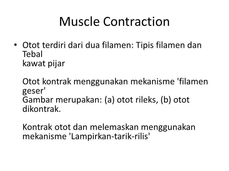 Muscle Contraction Otot terdiri dari dua filamen: Tipis filamen dan Tebal kawat pijar Otot kontrak menggunakan mekanisme 'filamen geser' Gambar merupa