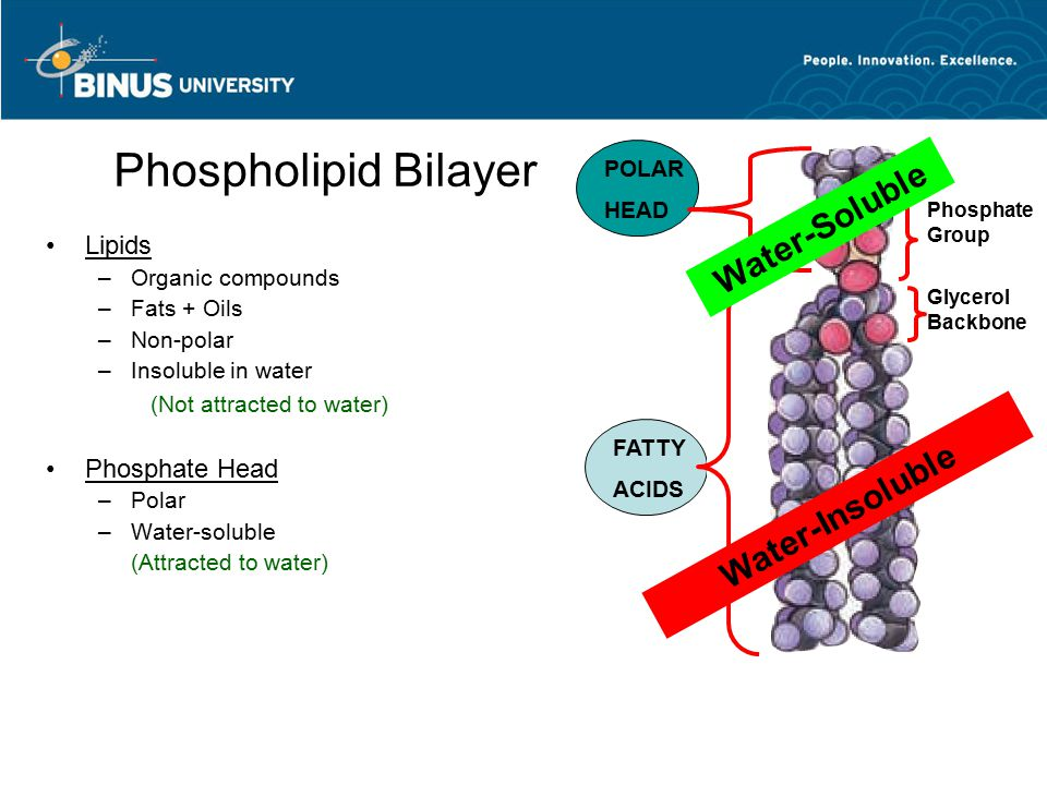 Phospholipid Bilayer Lipids –Organic compounds –Fats + Oils –Non-polar –Insoluble in water (Not attracted to water) Phosphate Head –Polar –Water-solub