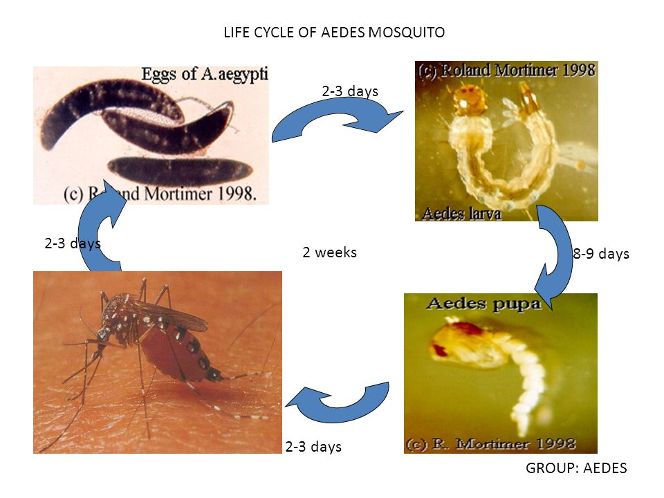 LIFE CYCLE OF AEDES MOSQUITO 2-3 days 8-9 days 2-3 days 2 weeks 2-3 days GROUP: AEDES