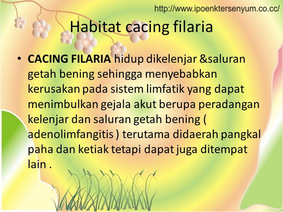 Habitat cacing filaria CACING FILARIA hidup dikelenjar &saluran getah bening sehingga menyebabkan kerusakan pada sistem limfatik yang dapat menimbulkan gejala akut berupa peradangan kelenjar dan saluran getah bening ( adenolimfangitis ) terutama didaerah pangkal paha dan ketiak tetapi dapat juga ditempat lain.