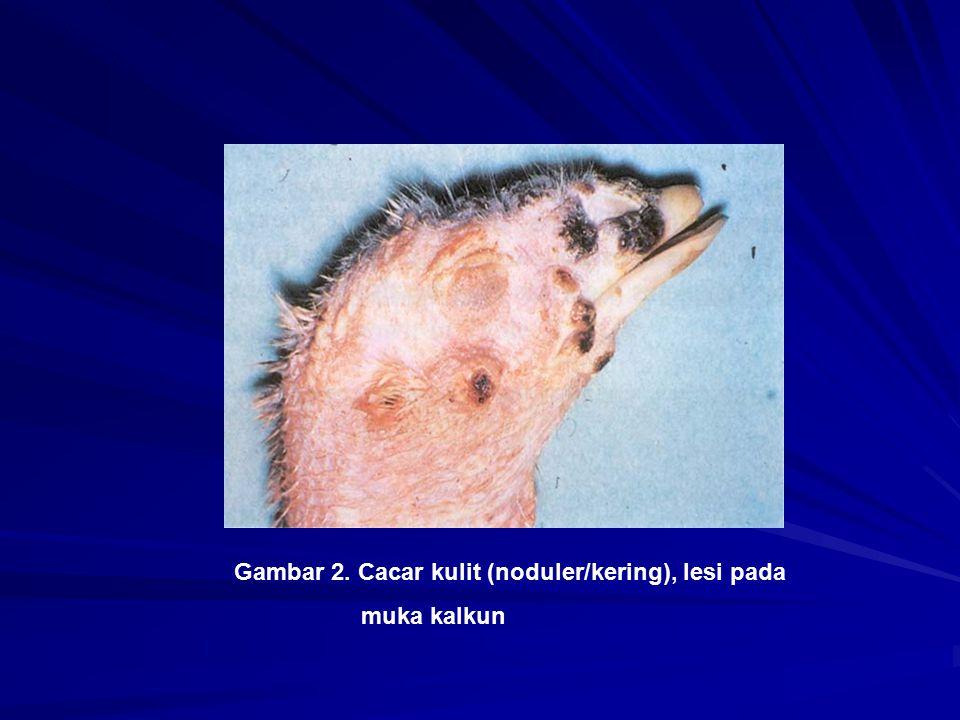 Gambar 2. Cacar kulit (noduler/kering), lesi pada muka kalkun