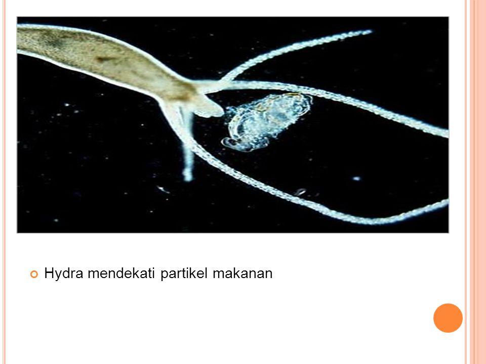 Hydra mendekati partikel makanan