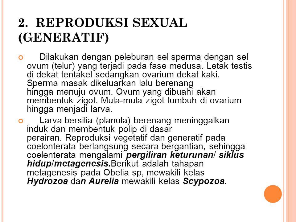 2. REPRODUKSI SEXUAL (GENERATIF) Dilakukan dengan peleburan sel sperma dengan sel ovum (telur) yang terjadi pada fase medusa. Letak testis di dekat te