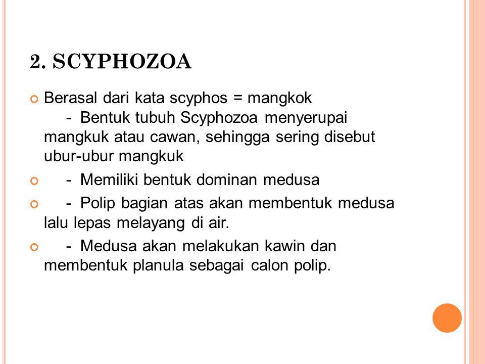 2. SCYPHOZOA Berasal dari kata scyphos = mangkok - Bentuk tubuh Scyphozoa menyerupai mangkuk atau cawan, sehingga sering disebut ubur-ubur mangkuk - M