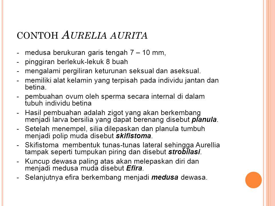 CONTOH A URELIA AURITA - medusa berukuran garis tengah 7 – 10 mm, - pinggiran berlekuk-lekuk 8 buah - mengalami pergiliran keturunan seksual dan aseks
