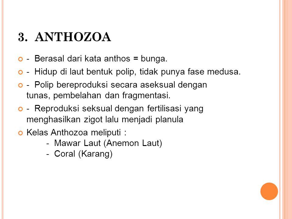 3. ANTHOZOA - Berasal dari kata anthos = bunga. - Hidup di laut bentuk polip, tidak punya fase medusa. - Polip bereproduksi secara aseksual dengan tun