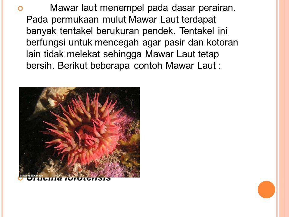 Mawar laut menempel pada dasar perairan. Pada permukaan mulut Mawar Laut terdapat banyak tentakel berukuran pendek. Tentakel ini berfungsi untuk mence