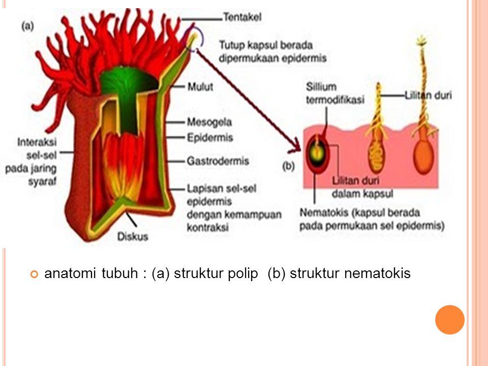 anatomi tubuh : (a) struktur polip (b) struktur nematokis