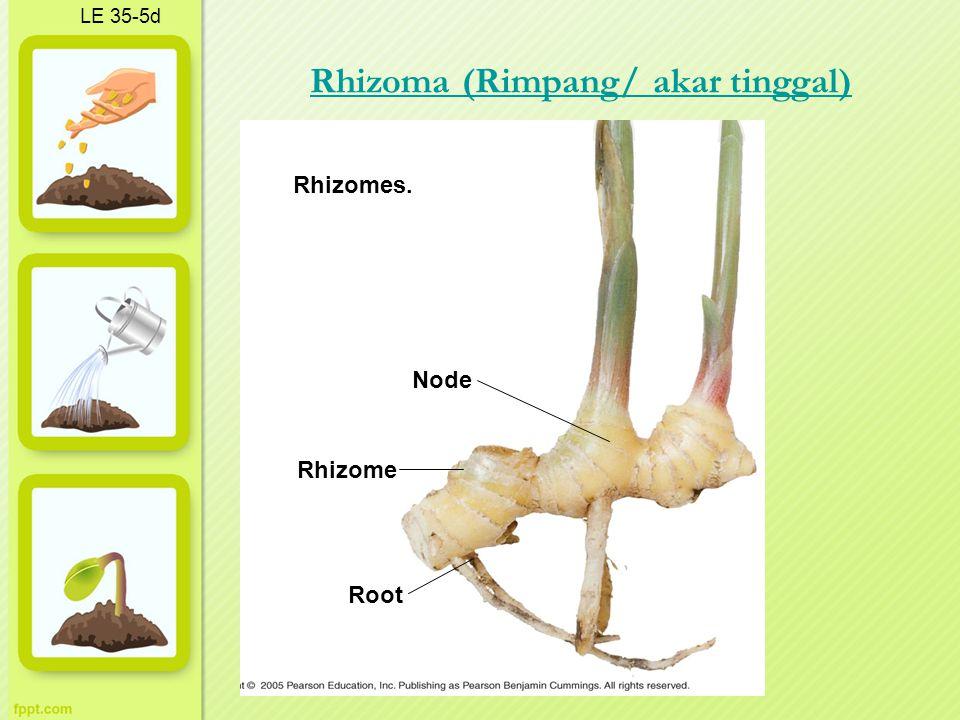 LE 35-5d Node Root Rhizomes. Rhizome Rhizoma (Rimpang/ akar tinggal)