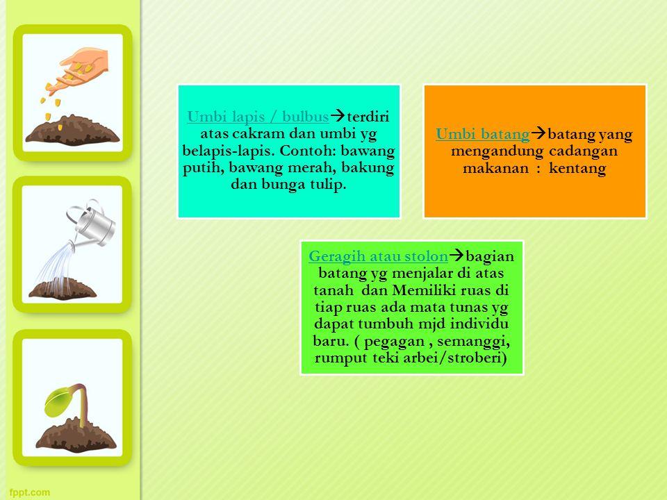 Umbi lapis / bulbus Umbi lapis / bulbus  terdiri atas cakram dan umbi yg belapis-lapis. Contoh: bawang putih, bawang merah, bakung dan bunga tulip. U
