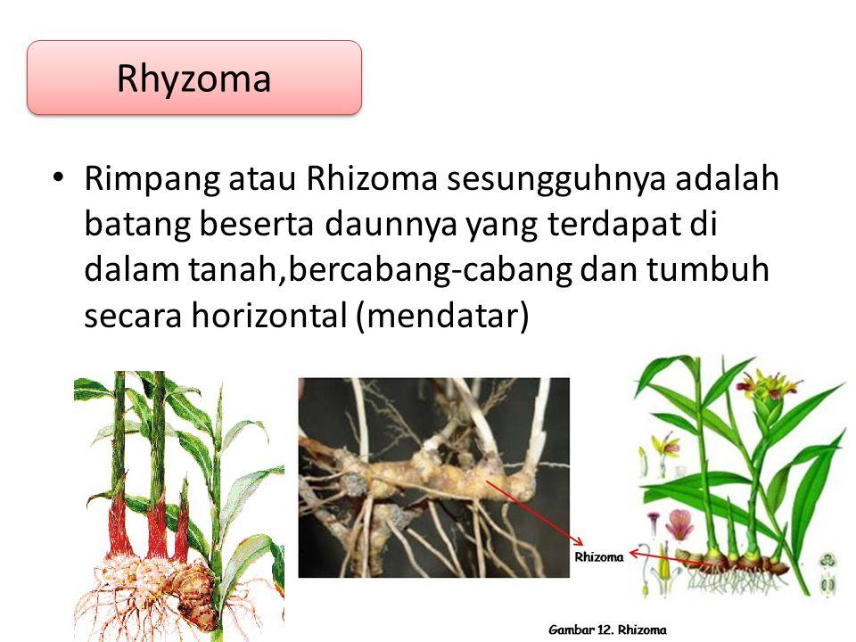 Rimpang atau Rhizoma sesungguhnya adalah batang beserta daunnya yang terdapat di dalam tanah,bercabang-cabang dan tumbuh secara horizontal (mendatar) Rhyzoma