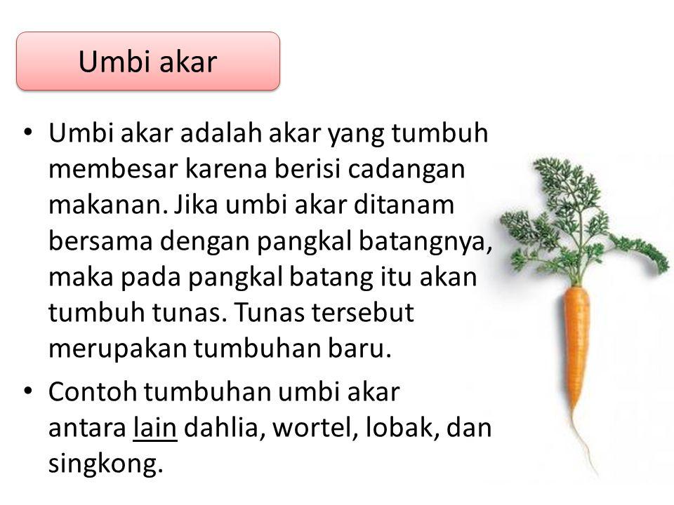 Umbi akar adalah akar yang tumbuh membesar karena berisi cadangan makanan. Jika umbi akar ditanam bersama dengan pangkal batangnya, maka pada pangkal