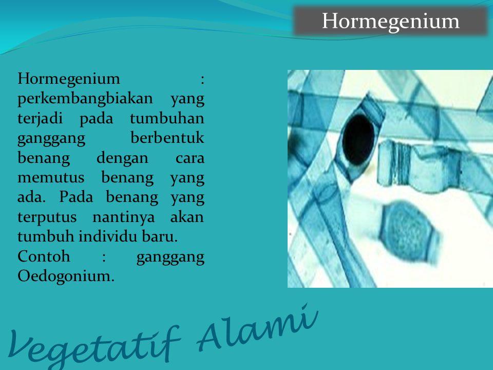 Hormegenium Hormegenium : perkembangbiakan yang terjadi pada tumbuhan ganggang berbentuk benang dengan cara memutus benang yang ada. Pada benang yang