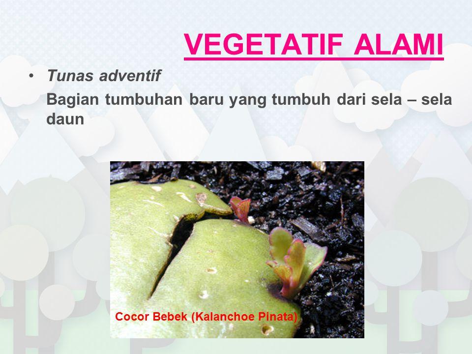 Tunas adventif Bagian tumbuhan baru yang tumbuh dari sela – sela daun Cocor Bebek (Kalanchoe Pinata)