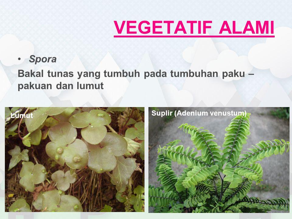 VEGETATIF ALAMI Spora Bakal tunas yang tumbuh pada tumbuhan paku – pakuan dan lumut Suplir (Adenium venustum) Lumut