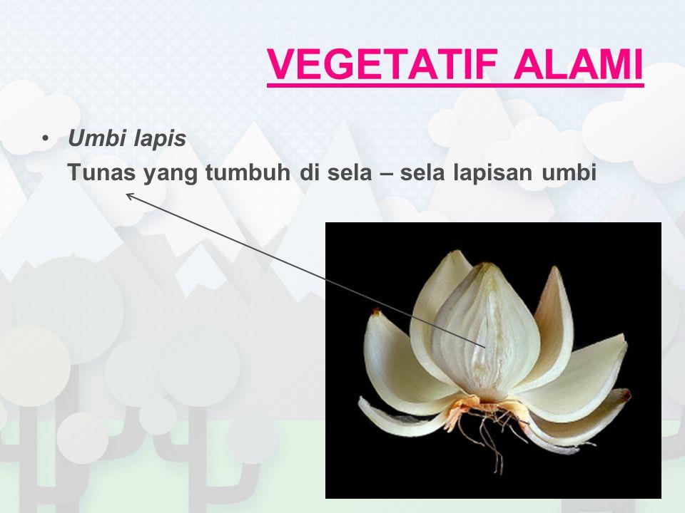 VEGETATIF ALAMI Umbi lapis Tunas yang tumbuh di sela – sela lapisan umbi