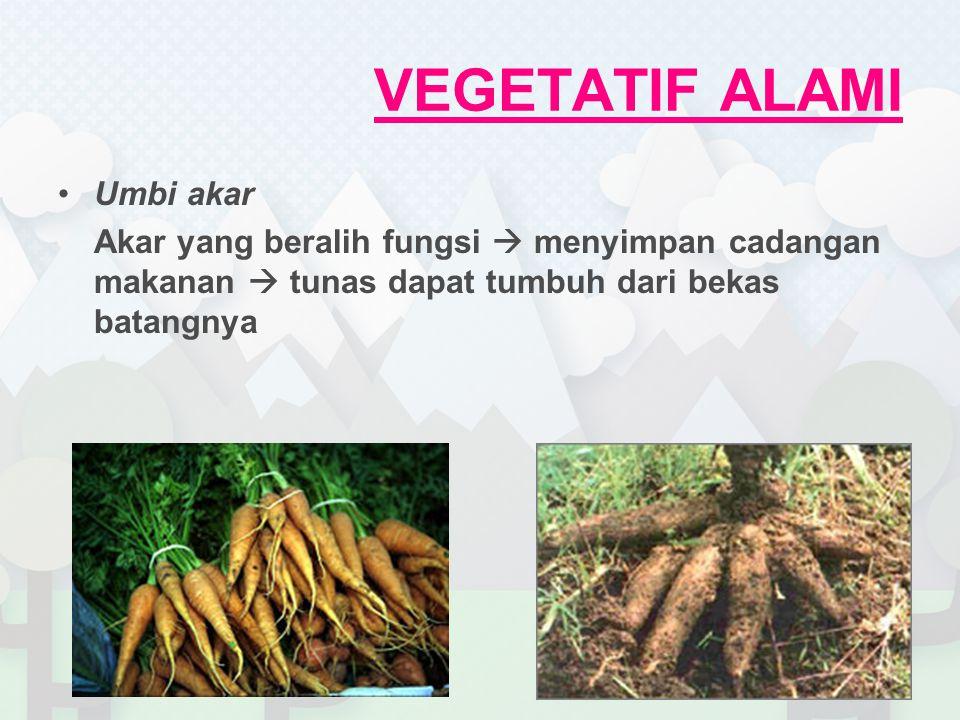 Umbi akar Akar yang beralih fungsi  menyimpan cadangan makanan  tunas dapat tumbuh dari bekas batangnya