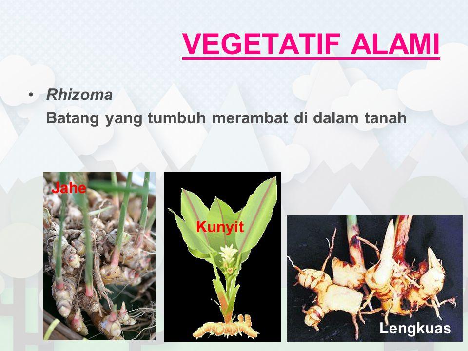 VEGETATIF ALAMI Geragih/Stolon Batang yang tumbuh merambat di atas tanah Rumput Teki