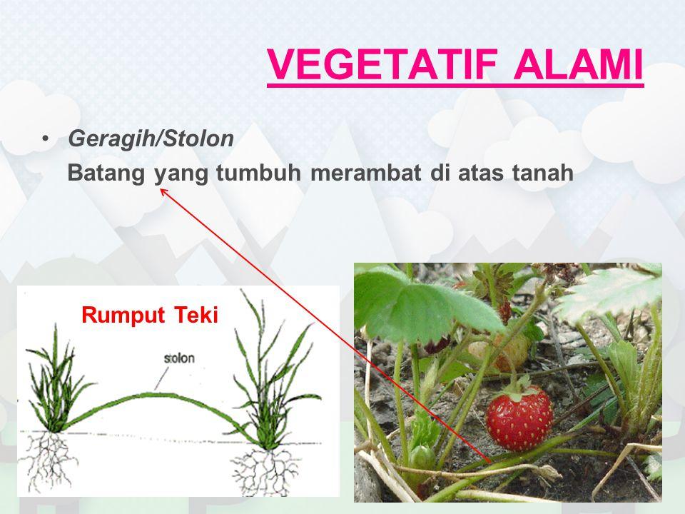 VEGETATIF BUATAN Mencangkok Konsep  akar tumbuh dari batang yang dicangkok Mendapatkan keturunan dengan cara cepat & sifat sama dengan induk Kelemahan  akar kurang kuat Biasa digunakan untuk tanaman buah