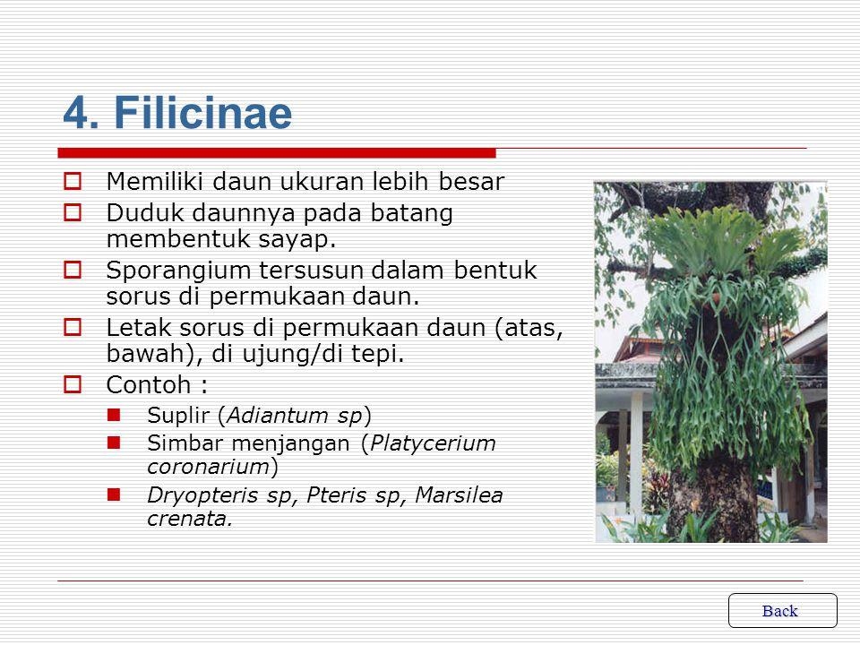 3.Equisetinae  Batang bercabang dan cabang pada umumnya berkarang pada buku-buku batang.