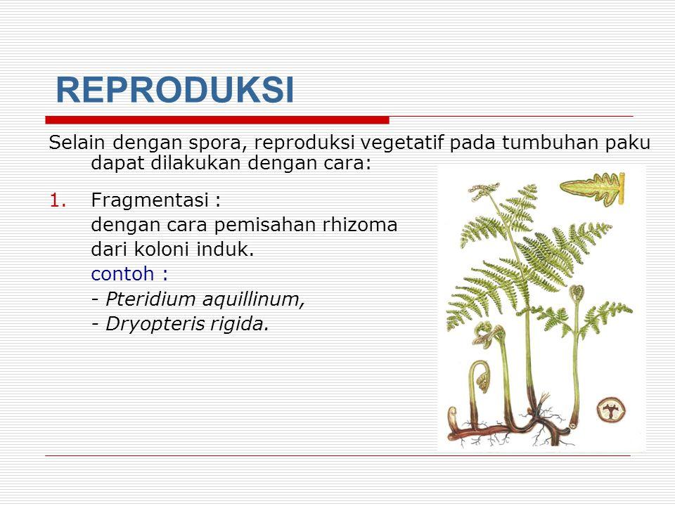 3. Paku Peralihan adalah tumbuhan paku yang dapat menghasilkan spora dengan bentuk dan ukuran sama, tetapi sebagian spora jantan dan spora bertina. co