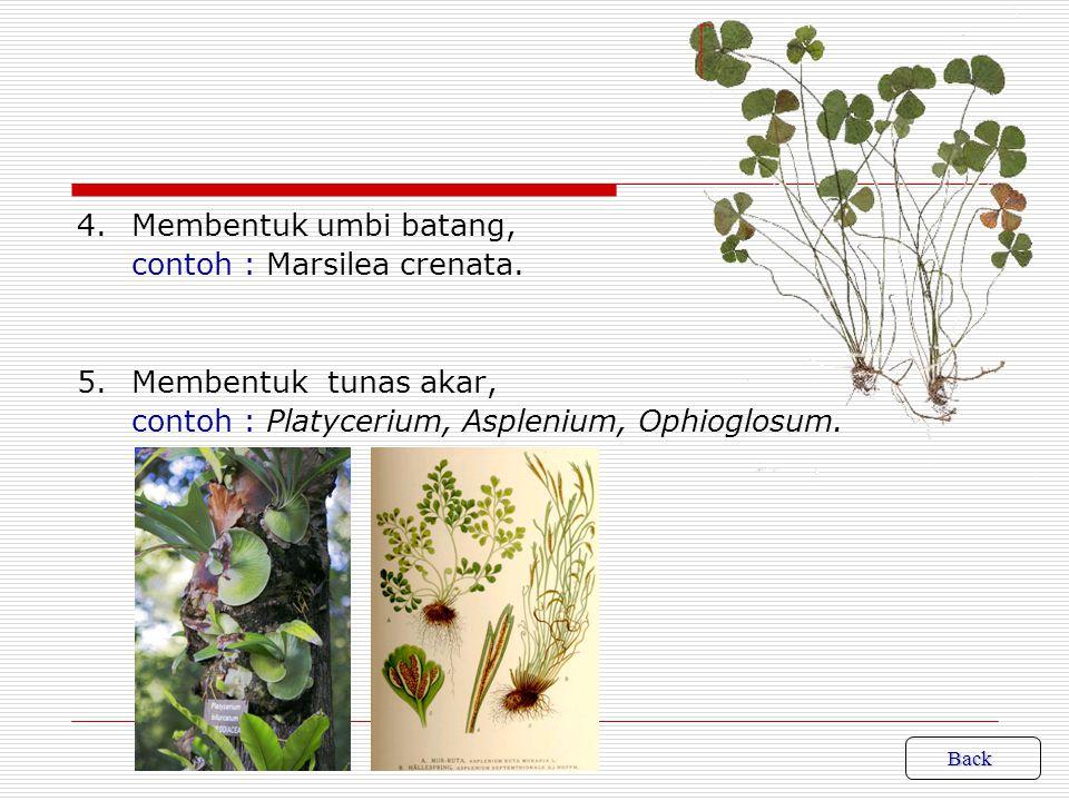 3.Membentuk tunas di ujung daun. Dibentuk oleh ujung daun bersifat embrional.