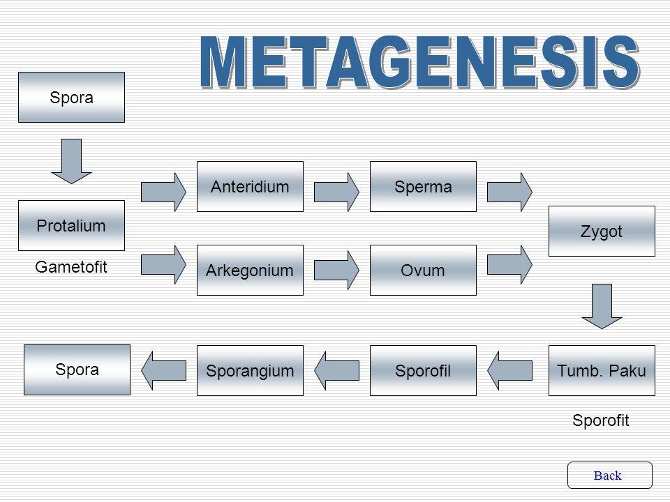 -Mengalami metagenesis atau pergiliran keturunan antara fase sporofit dan fase gametofit -Fase gametofit adalah protalium, menghasilkan gamet, hidupnya tidak lama -Protalium sel-selnya haploid, sebab tumbuh langsung dari spora -Fase sporofit adalah tumbuhan paku, menghasilkan spora, dominan, hidupnya lebih lama daripada gametofit -Tumbuhan paku sel-selnya diploid, sebab tumbuh dari zygot