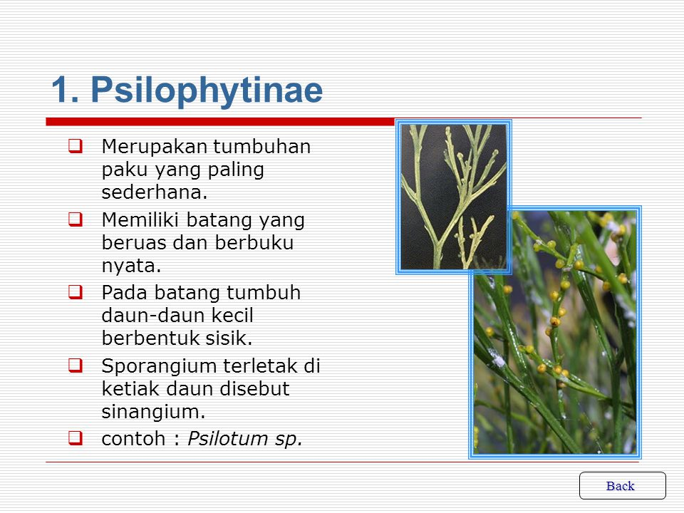 KLASIFIKASI Pengelompokan tumbuhan paku : 1.Psilophytinae 2.