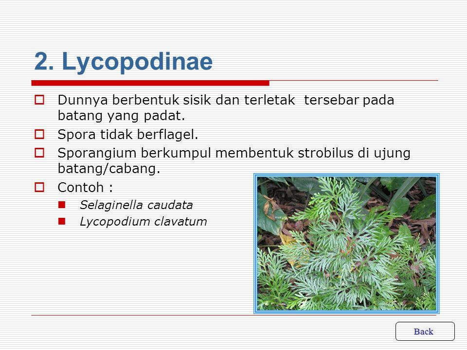 4.Selaginella dan Lycopodium clavatum merupakan contoh tumbuhan paku pada kelas….