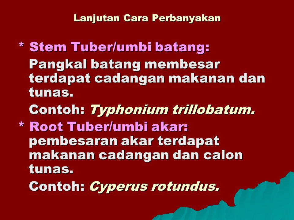 Lanjutan Cara Perbanyakan * Stem Tuber/umbi batang: Pangkal batang membesar terdapat cadangan makanan dan tunas. Contoh: Typhonium trillobatum. * Root