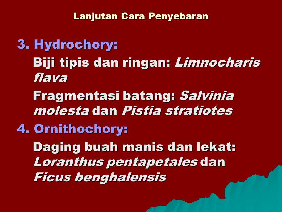 Lanjutan Cara Penyebaran 3. Hydrochory: Biji tipis dan ringan: Limnocharis flava Fragmentasi batang: Salvinia molesta dan Pistia stratiotes 4. Ornitho