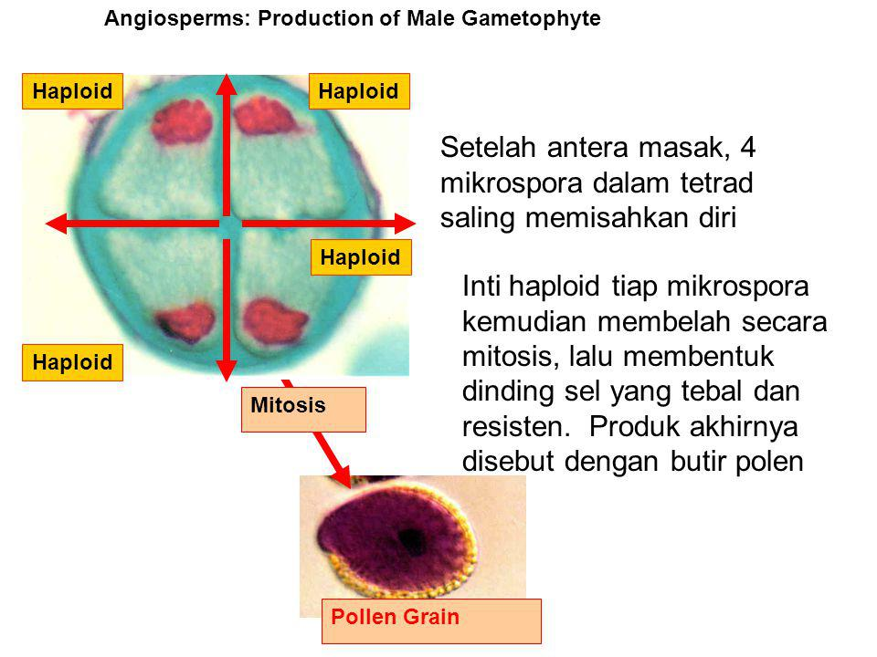 Setelah antera masak, 4 mikrospora dalam tetrad saling memisahkan diri Angiosperms: Production of Male Gametophyte Inti haploid tiap mikrospora kemudian membelah secara mitosis, lalu membentuk dinding sel yang tebal dan resisten.