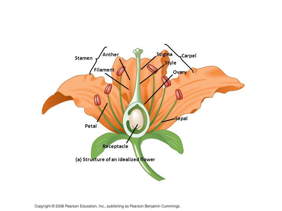 Lapisan Dinding Antera Berdasar asal lapisan parietal sekunder, Bhandari (1984) membagi dinding antera dalam beberapa tipe: tipe dasar; lapisan parietal terluar dan terdalam membelah secara periklinal dan membentuk endotesium, dua lapisan tengah dan tapetum, tipe dikotil; lapisan parietal terluar membelah membentuk endotesium dan lapisan tengah, sedangkan lapisan terdalam langsung berfungsi sebagai tapetum, tipe monokotil; lapisan parietal paling dalam membelah menghasilkan lapisan tengah dan tapertum, sedangkan lapisan terluar membentuk endotesium, tipe reduksi; lapisan parietal terluar dan dalam berturut-turut menjadi endotesium dan tapetum, dan tidak terdapat lapisan tengah.