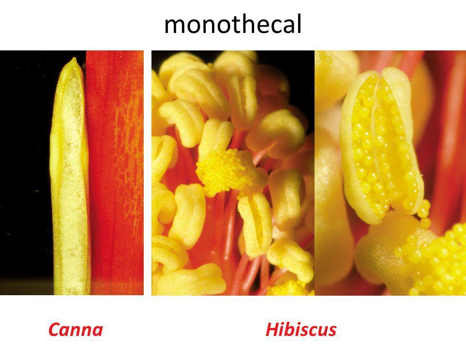 CannaHibiscus