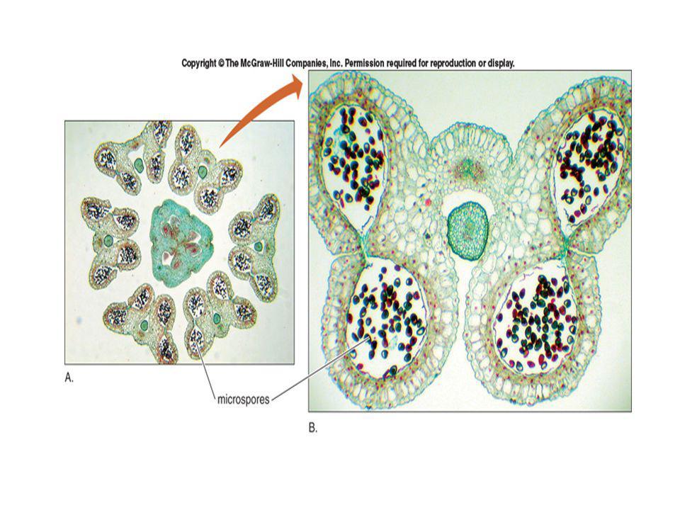 Mikrosporogenesis o Mrpk proses pembentukan dan pemasakan mikrospora (polen) o Jaringan sporogen kadang langsung bisa berfungsi sbg sel induk mikrospora, tapi ada juga yg mengalami beberapa pembelahan mitosis shg sel-selnya bertambah banyak seblm mengalami meiosis.