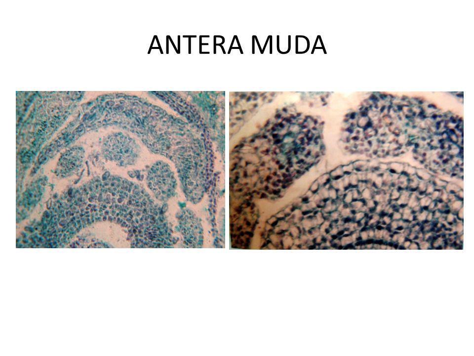 Perkembangan Antera Antera muda terdiri dari masa sel homogen yang dikelilingi oleh lapisan epidermis Selama perkembangan dihasilkan 4 lobi dan masing-masing terdapat beberapa sel hipodermal yg berukuran besar, memanjang ke arah radial dan intinya jelas.