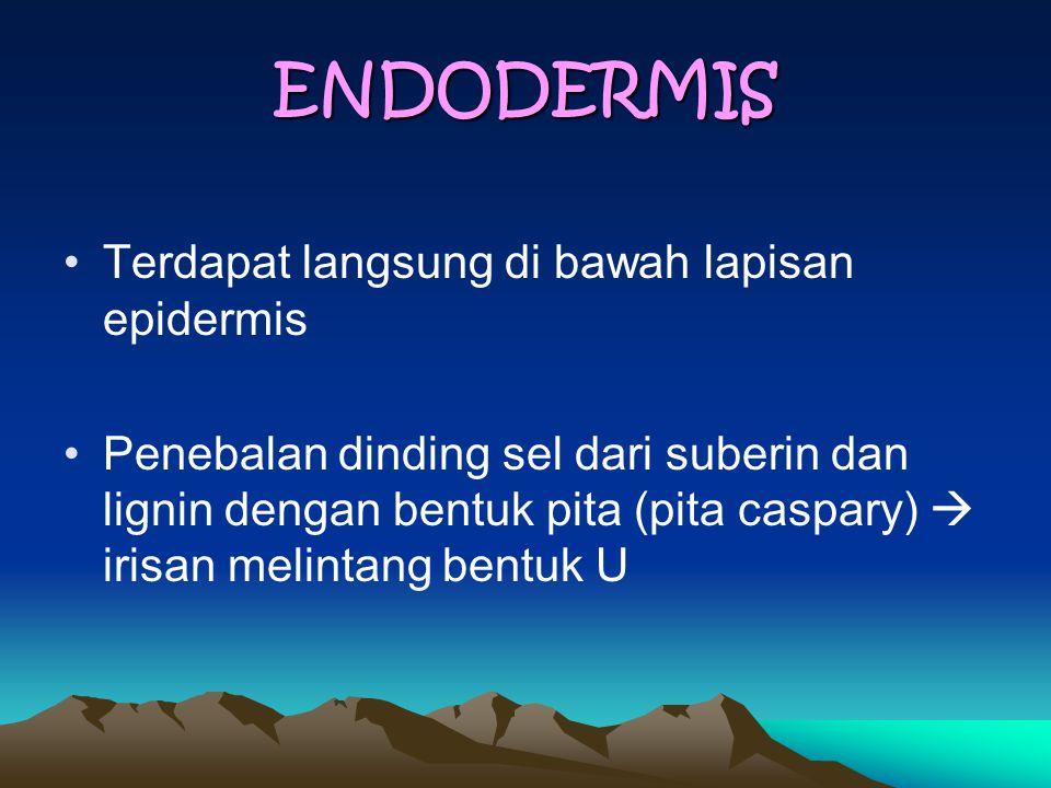 ENDODERMIS Terdapat langsung di bawah lapisan epidermis Penebalan dinding sel dari suberin dan lignin dengan bentuk pita (pita caspary)  irisan melintang bentuk U