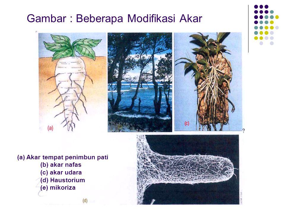 Gambar : Beberapa Modifikasi Akar (a) Akar tempat penimbun pati (b) akar nafas (c) akar udara (d) Haustorium (e) mikoriza